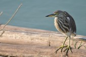 A Striated Mangrove Heron (Butorides Striata) also known as Mang — Stock Photo