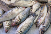 Heap of frozen horse mackerels for sale — Stock Photo