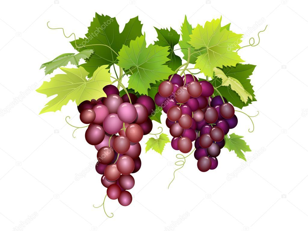 Tres racimos de uvas colgando — Vector de stock