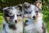 Portrait of two young sheltie dogs — Stock Photo