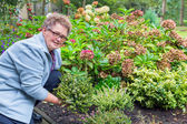 Donna anziana piantatura heather nel giardino — Foto Stock