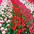 Tulip field with various red tulips in rows — Stock Photo #76593101