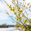 Hamamelis mollis yellow flowers in snow landscape — Stock Photo #76619867