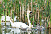 Couple white swans with young cygnets — Stock Photo