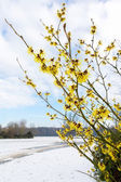 Hamamelis mollis yellow flowers in snow landscape — Stock Photo
