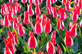 Many bicolor red-white tulips — Stock Photo