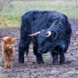 Black mother scottish highlander cow and brown calf — Stock Photo #76904275