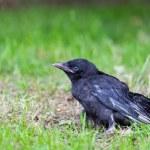 Jeune Corbeau noir assis dans l'herbe verte — Photo #76904811
