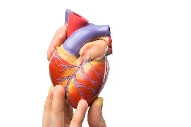 Fingers showing model human heart on white