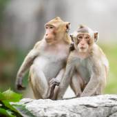 Couple monkey — Stock Photo