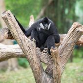 Black gibbon — Stock Photo