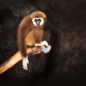 Brown gibbon — Stock Photo