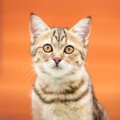 Gato marrom asiático — Fotografia Stock