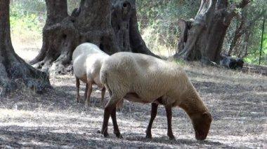 在橄榄园里的两个羊 — 图库视频影像