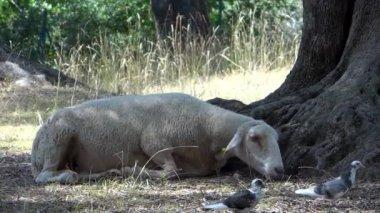 一只绵羊和两个有趣的小鸟,在橄榄园里 — 图库视频影像