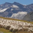 Alpine landscape with sheep flock — Stock Video #53176981