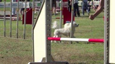 Dog agility, weave poles — Stock Video