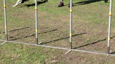 Dog agility, weave poles — Vídeo de stock