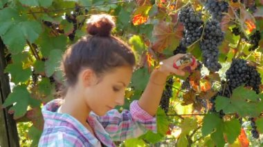 Young woman harvesting grapes — Stock Video