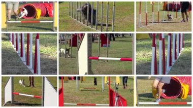Dog agility race montage — Stock Video