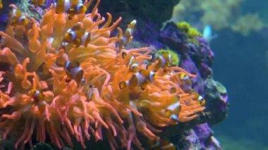 Aquarium of genoa, clown fishes — Stock Video