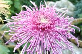 Chrysanthemum flower — Stock Photo