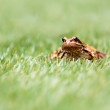 Front View of Common Frog in Grass — Stock Photo #53487545