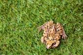 Overhead View of Common Frog on Grass — Stock Photo