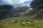 Sheeps on meadow nearby glacier in Alps in Switzerland — Stock Photo