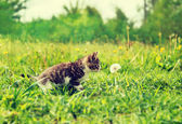 Curious cute kitten sniffing dandelion — Stock Photo