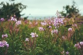 Willow-herb flowers outdoor — Stock Photo