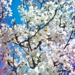 Cherry blossoms against the blue sky — Stock Photo #74503225