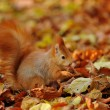 Red squirrel standing with hazelnut  on colorful leafs  — Stock Photo #58373713