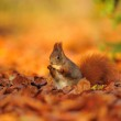 Red squirrel with peanut on the orange leafs — Stock Photo #58376553