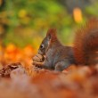 Red squirrel with walnut on the orange leafs — Stock Photo #58376849