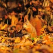 Red squirrel with peanut on the orange leafs — Stock Photo #58376965