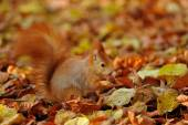 Red squirrel standing with hazelnut  on colorful leafs  — Stock Photo