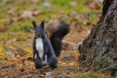 Brown squirrel standing next to the tree — Stock Photo