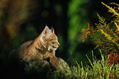 Eurasian lynx in forest — Stock Photo