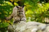 Cougar head — Stock Photo
