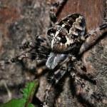 Cross spider — Stock Photo #64941927