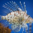 Red lionfish — Stock Photo #67866919