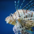 Red lionfish — Stock Photo #67867029