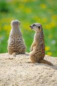Two Meerkats on watch — Stockfoto