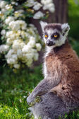 Lemur suitor with flowers — Stock Photo