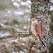 Common kestrel sitting in winter on coniferous tree with lichen — Stock Photo #78244842