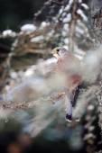 Common kestrel sitting in winter on coniferous tree with lichen — Stock Photo