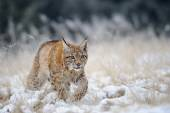 Eurasian lynx cub walking on snow with high yellow grass on background — Stock Photo