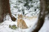 Eurasian lynx cub sitting in winter colorful forest with snow — Stock Photo