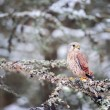 Common kestrel sitting in winter on coniferous tree with lichen — Stock Photo #78965664